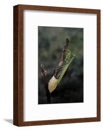 Mantis Religiosa (Praying Mantis) - Laying