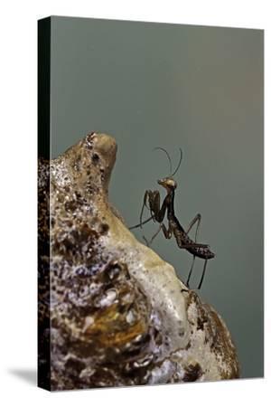 Mantis Religiosa (Praying Mantis) - Very Young Larva on its Egg Case