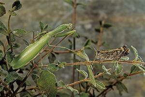Mantis Religiosa (Praying Mantis) - Watching its Prey by Paul Starosta