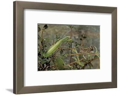 Mantis Religiosa (Praying Mantis) - Watching its Prey