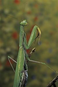 Mantis Religiosa (Praying Mantis) by Paul Starosta