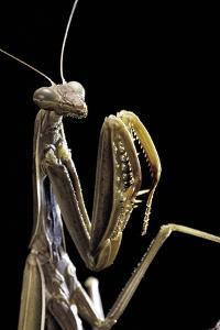 Mantis Religiosa (Praying Mantis) - by Paul Starosta