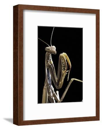 Mantis Religiosa (Praying Mantis) -