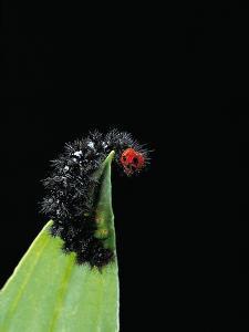 Melitaea Cinxia (Glanville Fritillary) - Black Spiny Caterpillar by Paul Starosta