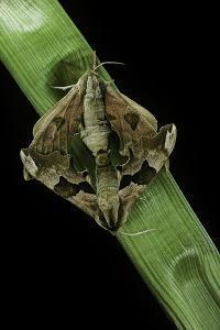 Mimas Tiliae (Lime Hawk Moth) - Mating by Paul Starosta
