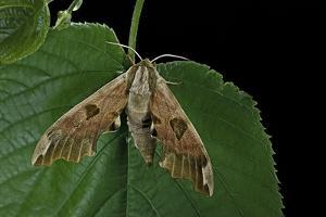 Mimas Tiliae (Lime Hawk Moth) by Paul Starosta