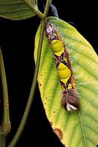 Morpho Menelaus (Menelaus Blue Morpho) - Caterpillar by Paul Starosta