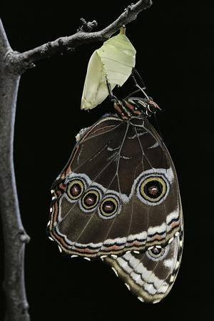 Morpho Peleides (Blue Morpho) - Emerging from Pupa