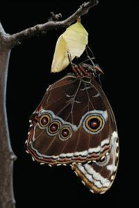Morpho Peleides (Blue Morpho) - Just Emerged from Pupa by Paul Starosta