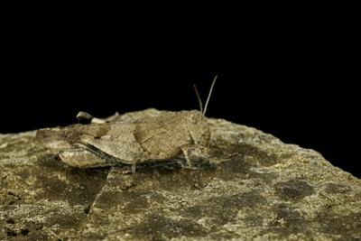 Oedipoda Caerulescens (Blue-Winged Grasshopper)