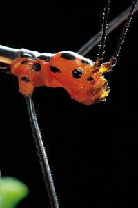 Oreophoetes Peruana (Peruvian Fire Stick) - Portrait by Paul Starosta