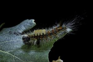 Orgyia Antiqua (Rusty Tussock Moth, Vapourer Moth) - Caterpillar by Paul Starosta