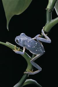 Pachymedusa Dacnicolor (Mexican Leaf Frog) by Paul Starosta