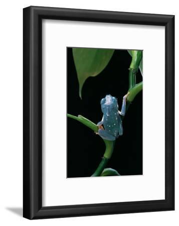 Pachymedusa Dacnicolor (Mexican Leaf Frog)