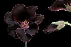 Pelargonium X Domesticum 'Lord Bute' (Regal Geranium) by Paul Starosta