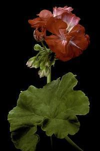 Pelargonium X Hortorum 'Corinne' (Common Geranium, Garden Geranium, Zonal Geranium) by Paul Starosta