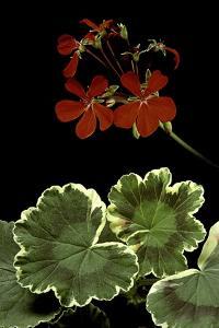 Pelargonium X Hortorum 'Dolly Vardon' (Common Geranium, Garden Geranium, Zonal Geranium) by Paul Starosta