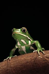 Phyllomedusa Sauvagii (Waxy Monkey Leaf Frog) by Paul Starosta