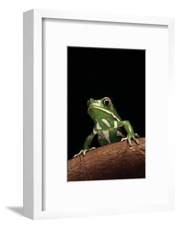 Phyllomedusa Sauvagii (Waxy Monkey Leaf Frog)