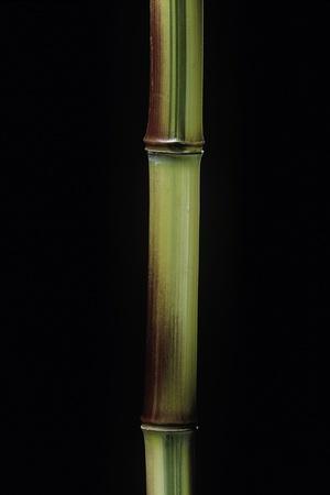 Phyllostachys Aureosulcata 'Spectabilis' (Showy Yellow Groove Bamboo)
