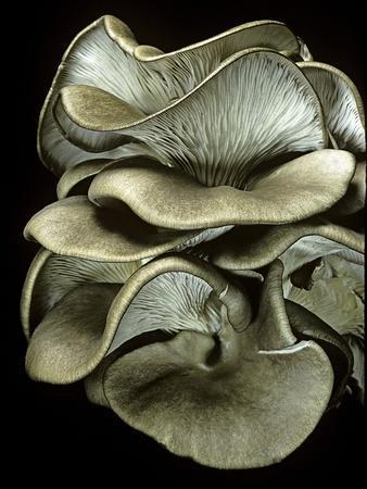 Pleurotus Ostreatus (Oyster Mushroom, Mock Oyster, Oyster Cap)