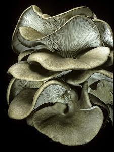 Pleurotus Ostreatus (Oyster Mushroom, Mock Oyster, Oyster Cap) by Paul Starosta
