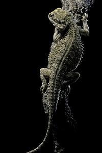 Pogona Brevis (Bearded Dragon) by Paul Starosta