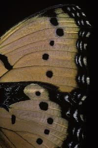 Precis Octavia (Gaudy Commodore) - Wings Detail of Summer Form by Paul Starosta