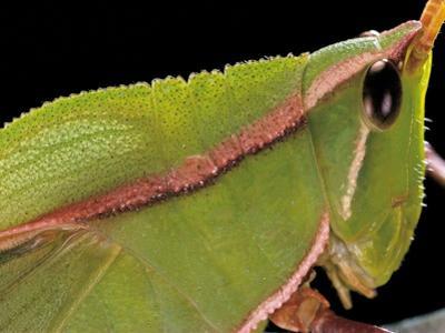 Prionolopha Serrata (Serrate Lubber Grasshopper)- Portrait