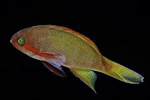 Pseudanthias Squamipinnis (Sea Goldie, Lyretail Coralfish, Lyretail Anthias) by Paul Starosta