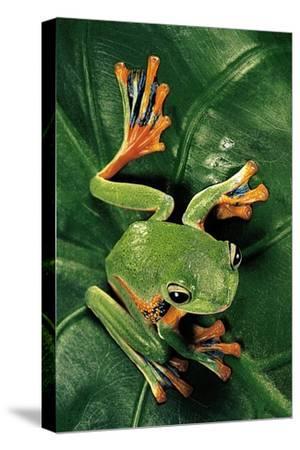 Rhacophorus Reinwardtii (Green Flying Frog)