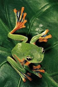 Rhacophorus Reinwardtii (Green Flying Frog) by Paul Starosta