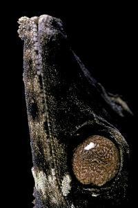 Uroplatus Henkeli (Flat-Tailed Gecko) - Eye by Paul Starosta