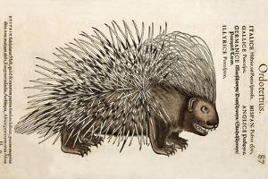 1560 Conrad Gesner Crested Porcupine by Paul Stewart