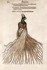 1560 Gesner Bird of Paradise Myth by Paul Stewart