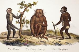 1824 Schinz Apes, Gibbon, Orang, Chimp by Paul Stewart