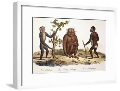1824 Schinz Apes, Gibbon, Orang, Chimp