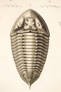 1846 Fine Victorian Trilobite Lithograph by Paul Stewart