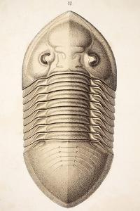 1846 Victorian Trilobite Platycephalus by Paul Stewart
