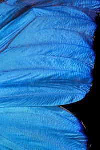 Blue Morpho Butterfly Wing by Paul Stewart