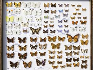 Case of British Butterflies Lepidoptera by Paul Stewart