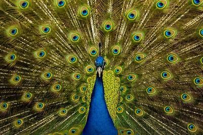 Peacock Pavo Cristatus Displaying Tail