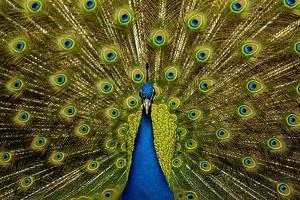 Peacock Pavo Cristatus Displaying Tail by Paul Stewart