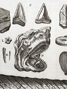 Steno's Shark Tooth Fossil by Paul Stewart
