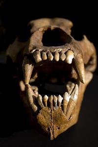 Ural Cave Bear Skull Ursus Uralensis by Paul Stewart