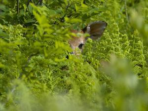 A Day-Old White-Tailed Deer Fawn Hiding in a Bed of Ferns by Paul Sutherland