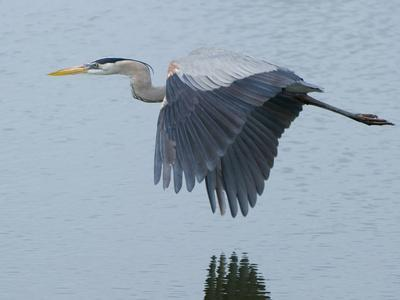 A Great Blue Heron, Ardea Herodias, Flying over a Pond in a Rookery