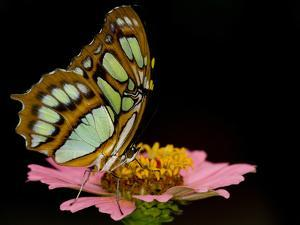 A Malachite Butterfly, Siproeta Stelenes, Perching on a Flower by Paul Sutherland