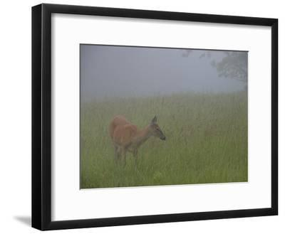 A White-Tailed Deer Doe, Odocoileus Virginianus, Foraging in the Mist