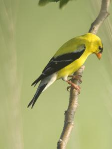 Adult Male American Goldfinch, Spinus Tristis, in Breeding Plumage by Paul Sutherland